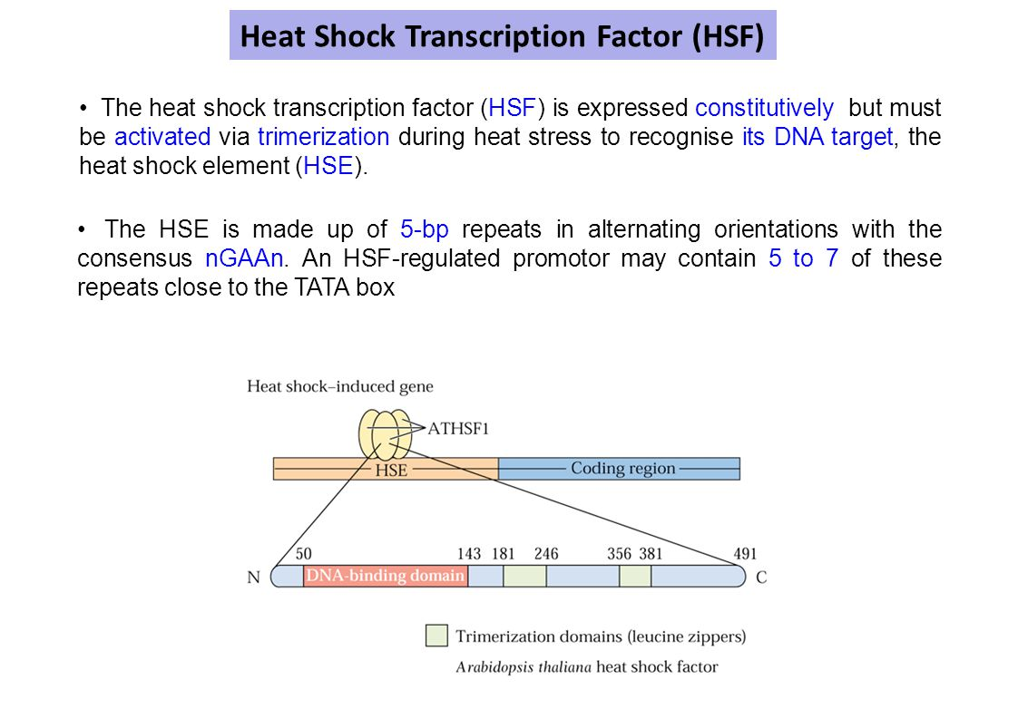 Heat Shock Transcription Factor (HSF)