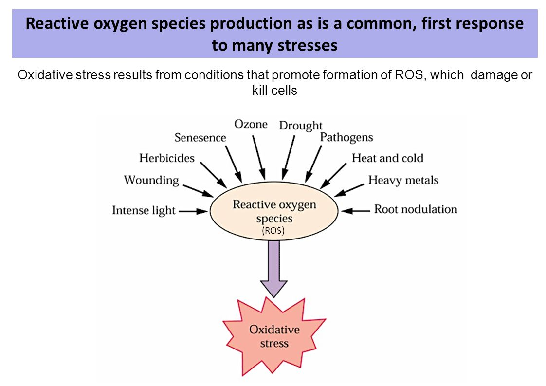 Reactive oxygen species production as is a common, first response to many stresses