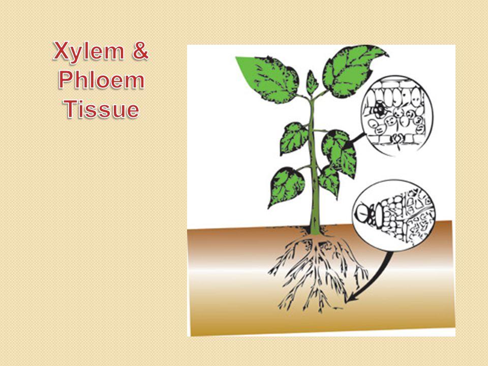 Xylem & Phloem Tissue