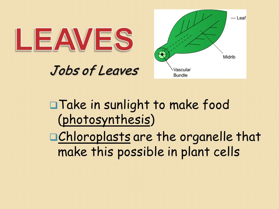 LEAVES Jobs of Leaves Take in sunlight to make food (photosynthesis)