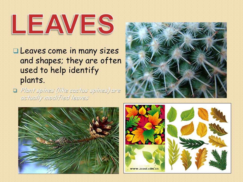 LEAVES Leaves come in many sizes and shapes; they are often used to help identify plants.