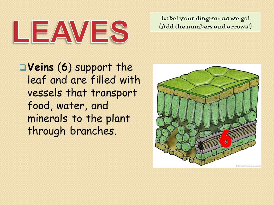 LEAVES Veins (6) support the leaf and are filled with vessels that transport food, water, and minerals to the plant through branches.