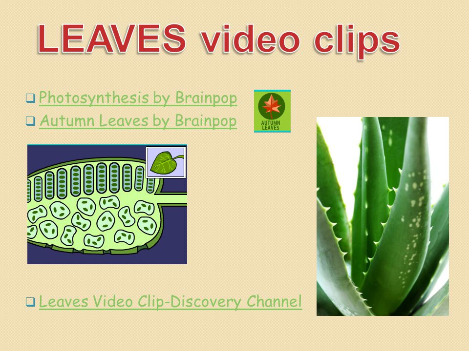 LEAVES video clips Photosynthesis by Brainpop