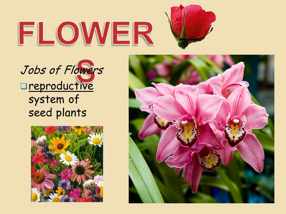 FLOWERS Jobs of Flowers reproductive system of seed plants