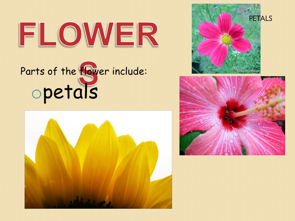 FLOWERS PETALS Parts of the flower include: petals