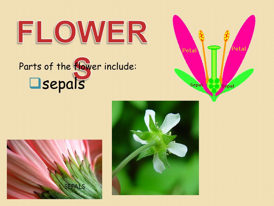 FLOWERS Parts of the flower include: sepals SEPALS