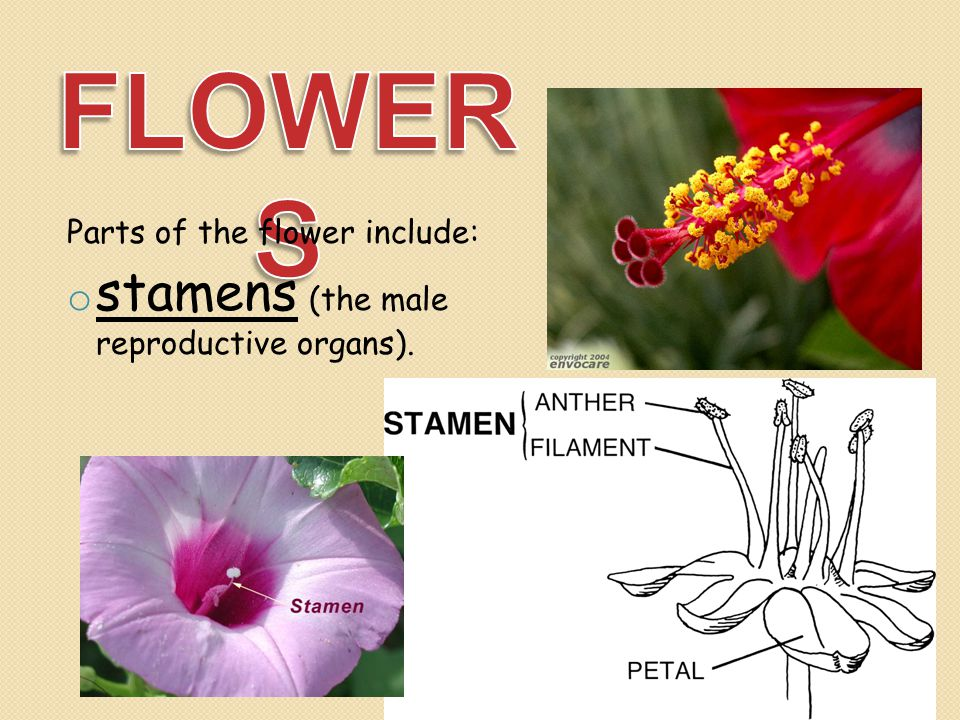 FLOWERS stamens (the male reproductive organs).