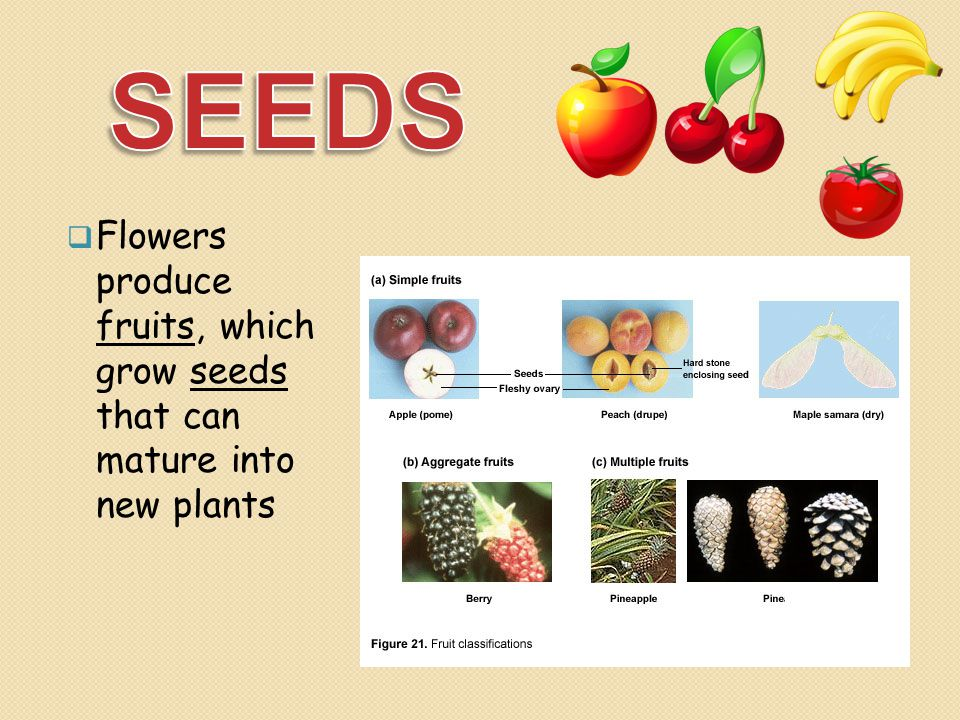 SEEDS Flowers produce fruits, which grow seeds that can mature into new plants