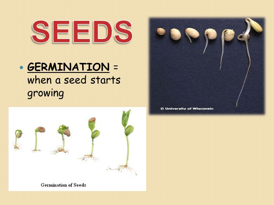 SEEDS GERMINATION = when a seed starts growing