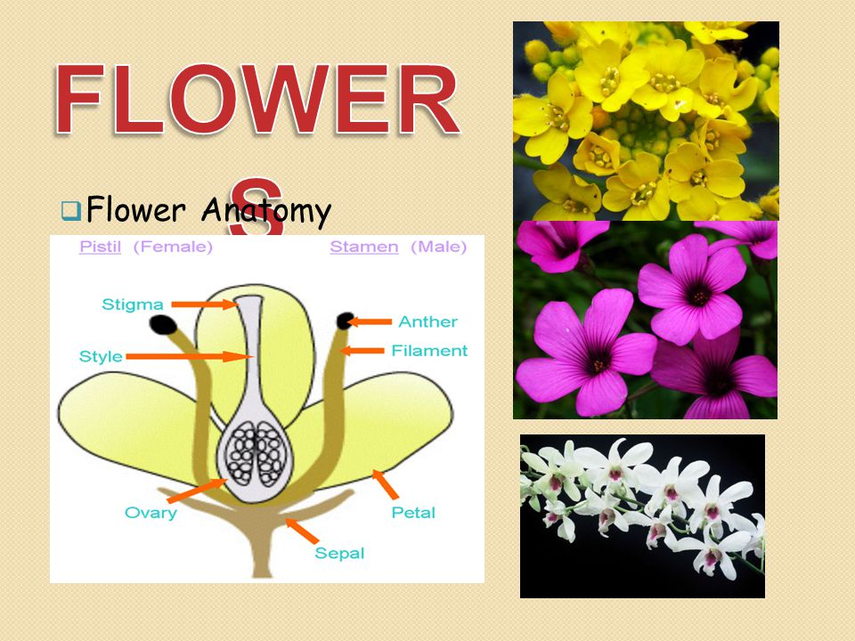 FLOWERS Flower Anatomy