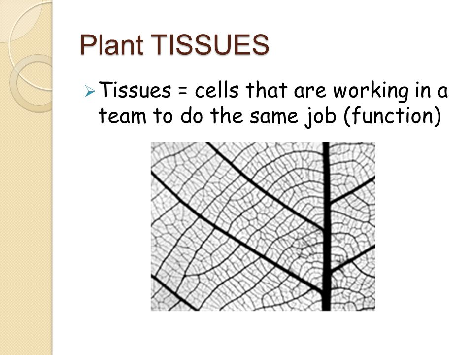 Plant TISSUES Tissues = cells that are working in a team to do the same job (function)
