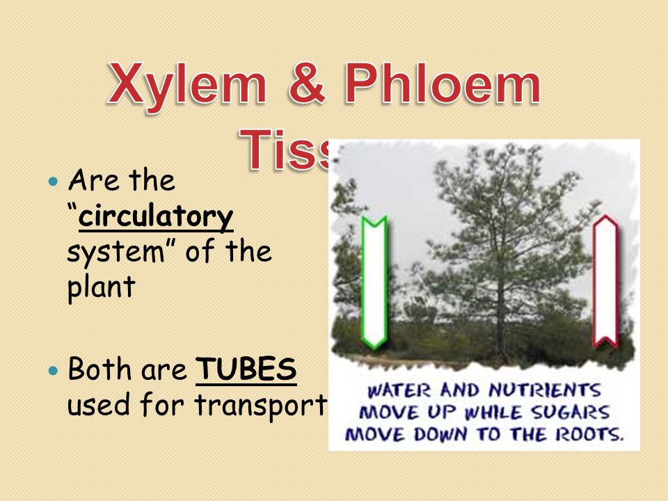 Xylem & Phloem Tissue Are the circulatory system of the plant