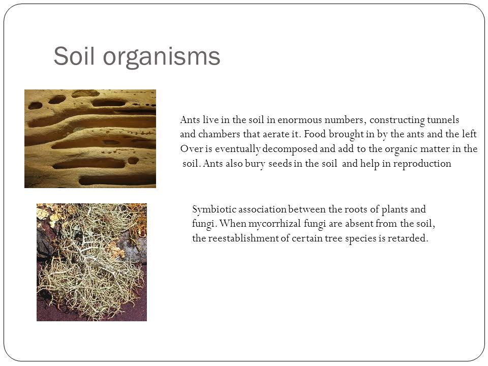 Soil organisms Ants live in the soil in enormous numbers, constructing tunnels.