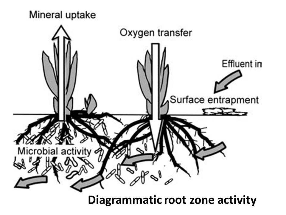 Diagrammatic root zone activity