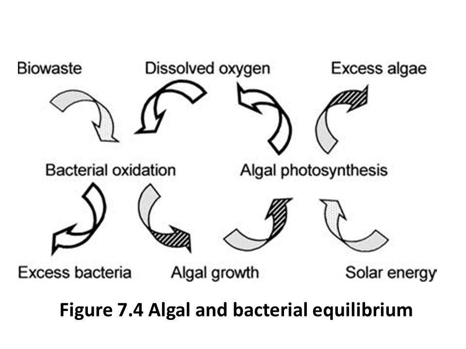Figure 7.4 Algal and bacterial equilibrium