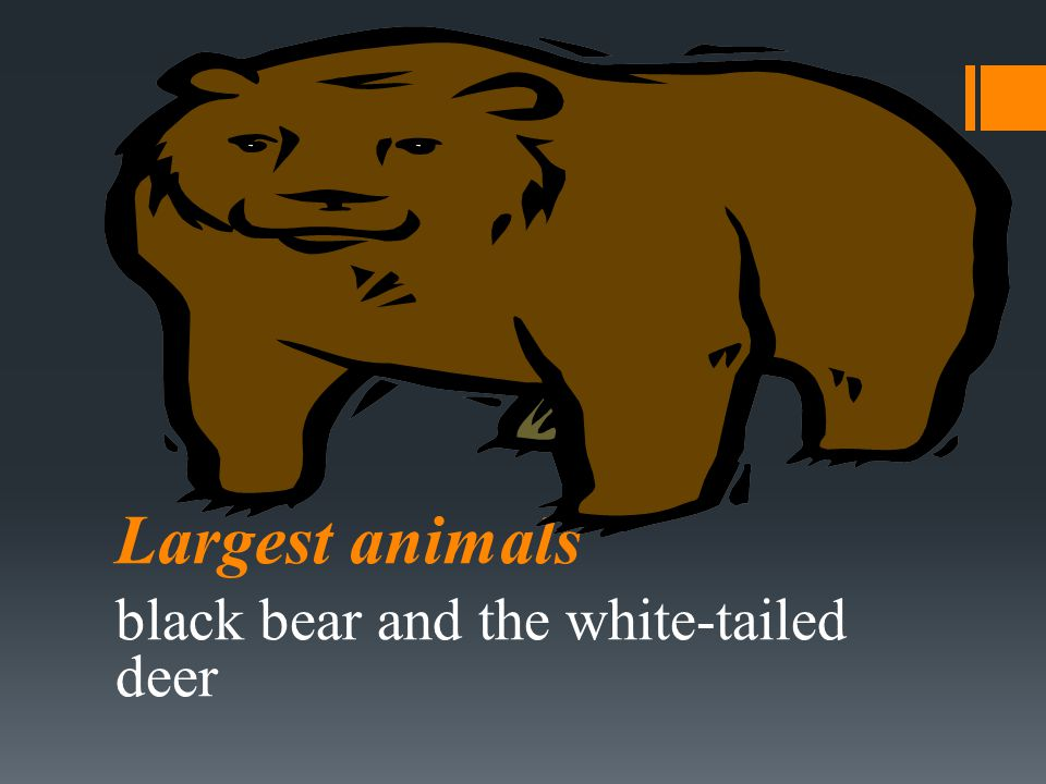black bear and the white-tailed deer
