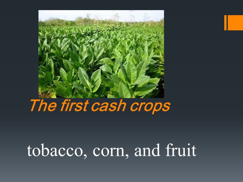 The first cash crops tobacco, corn, and fruit