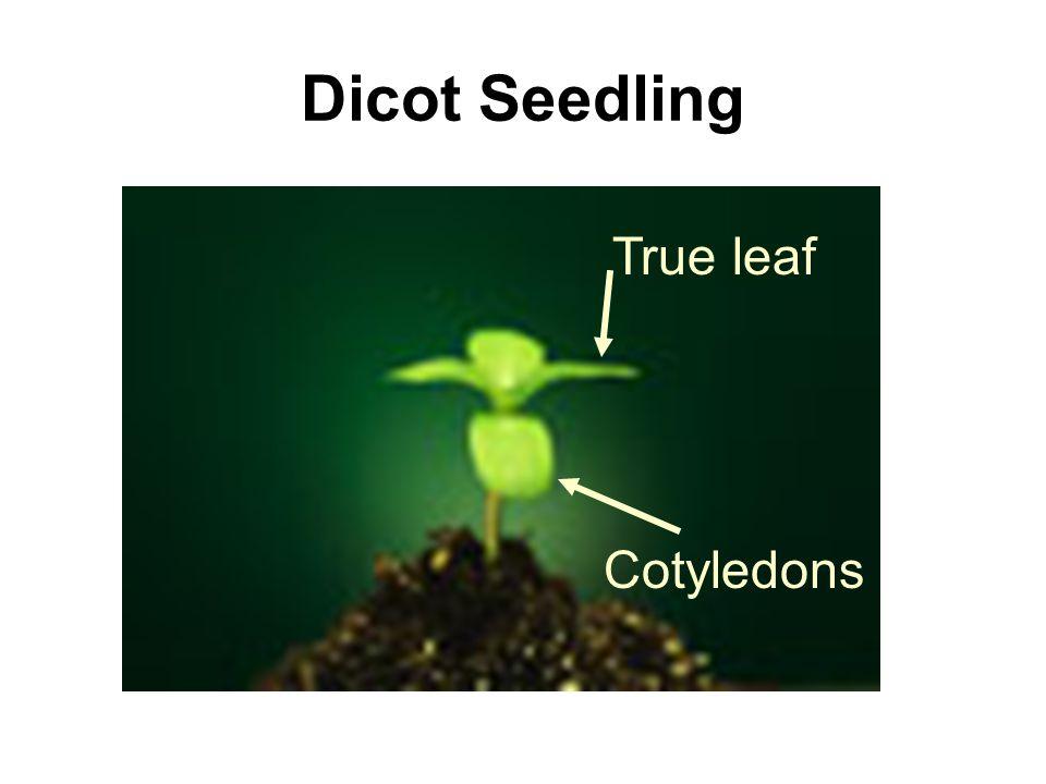 Dicot Seedling True leaf Cotyledons