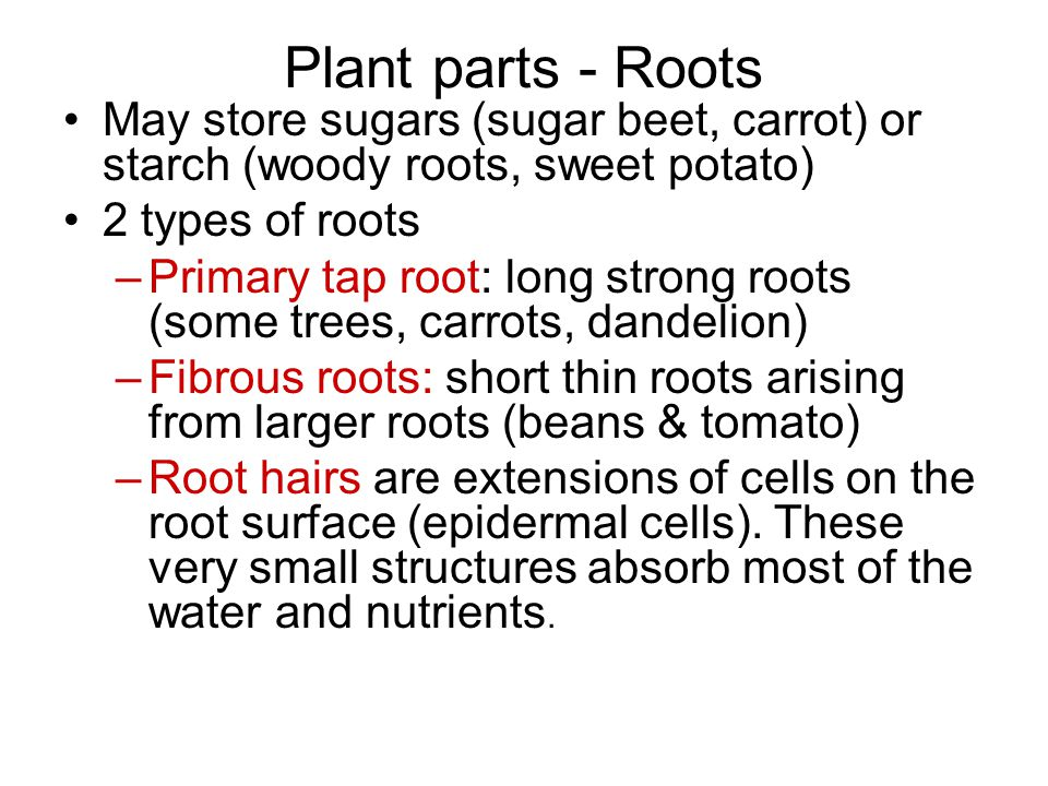 Plant parts - Roots May store sugars (sugar beet, carrot) or starch (woody roots, sweet potato) 2 types of roots.
