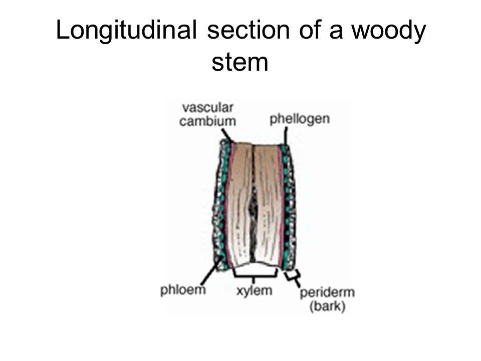 Longitudinal section of a woody stem