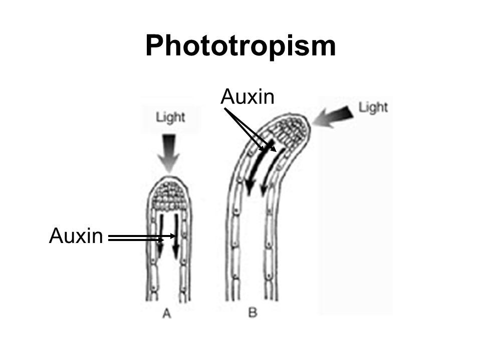 Phototropism Auxin Auxin
