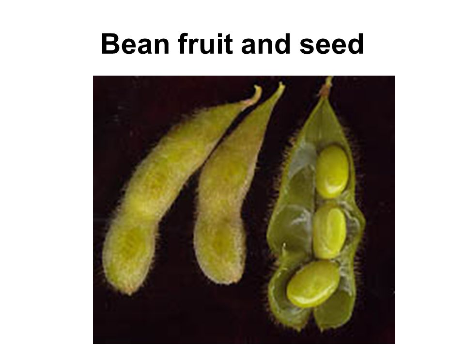 Bean fruit and seed