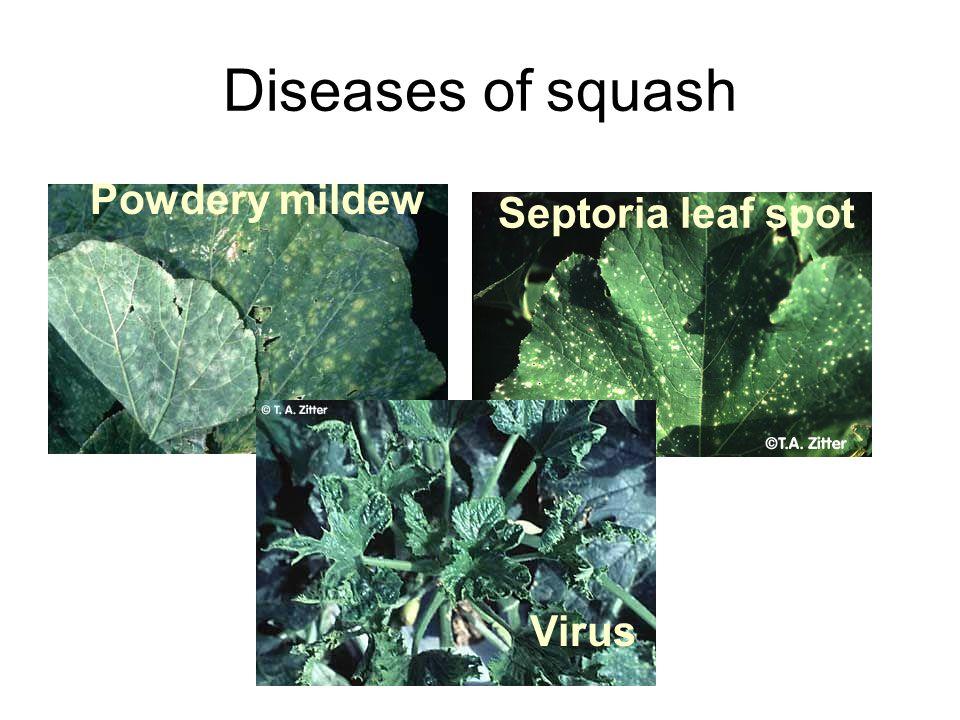 Diseases of squash Powdery mildew Septoria leaf spot Virus