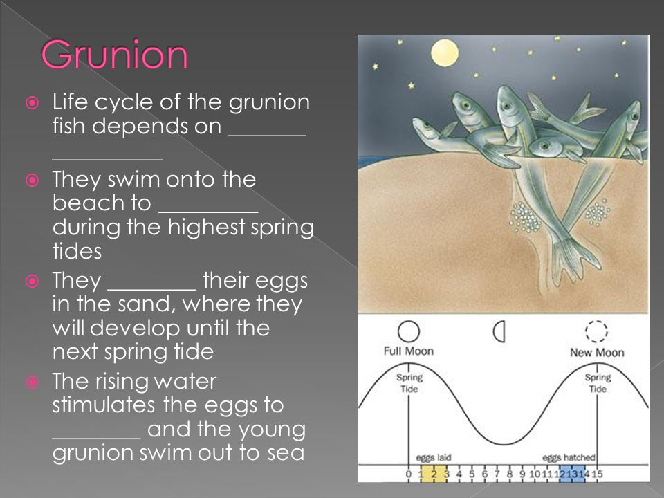 Grunion Life cycle of the grunion fish depends on _______ __________