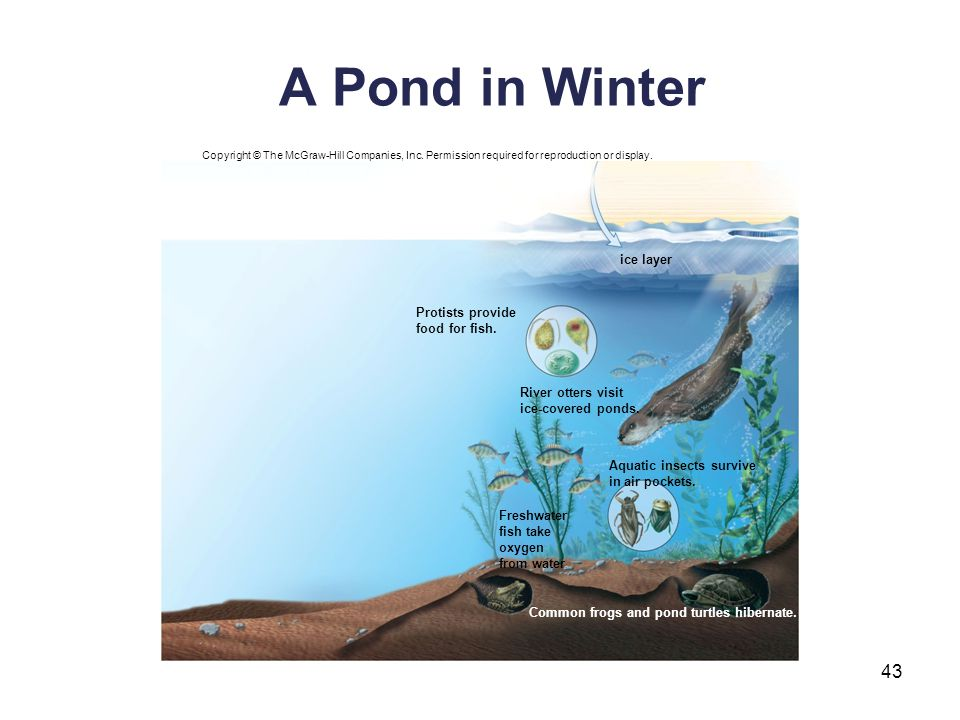 A Pond in Winter ice layer Protists provide food for fish.