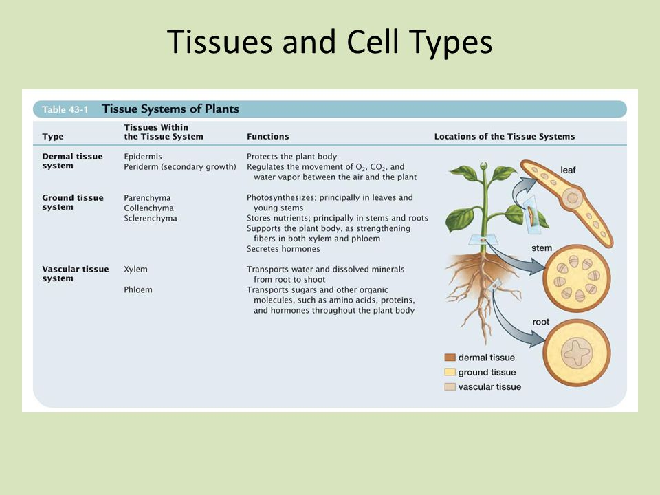 Tissues and Cell Types