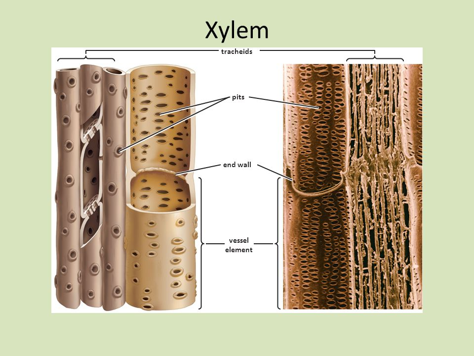 tracheids pits vessel elements xylem cells diagram label diagram of elodea cells plant anatomy and nutrient transport - ppt video online ...
