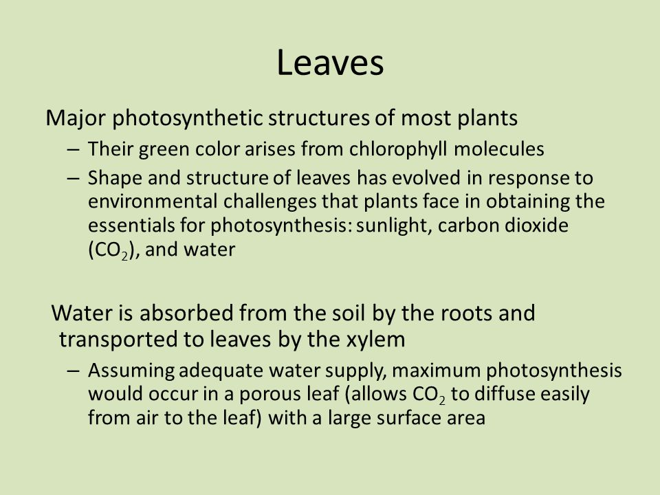 Leaves Major photosynthetic structures of most plants
