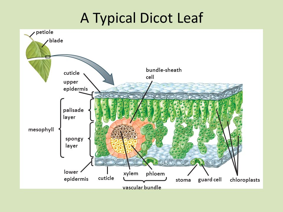 A Typical Dicot Leaf petiole blade bundle-sheath cell cuticle upper