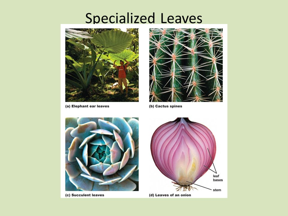Specialized Leaves