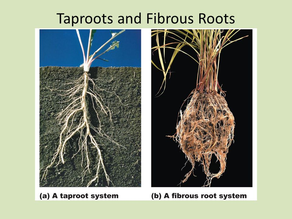 Taproots and Fibrous Roots