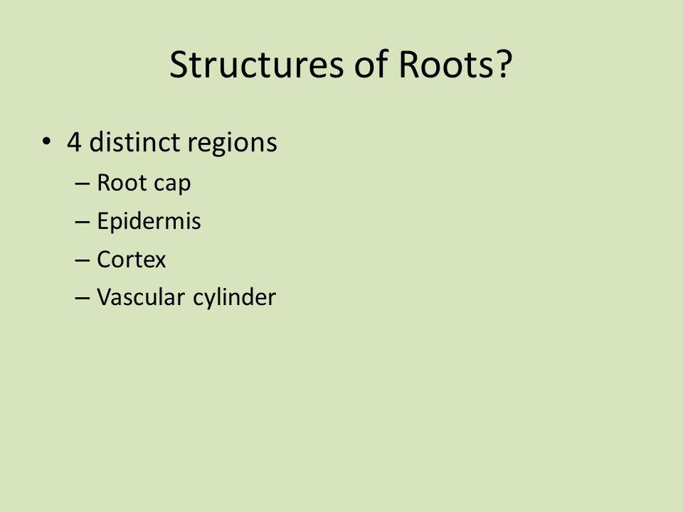 Structures of Roots 4 distinct regions Root cap Epidermis Cortex