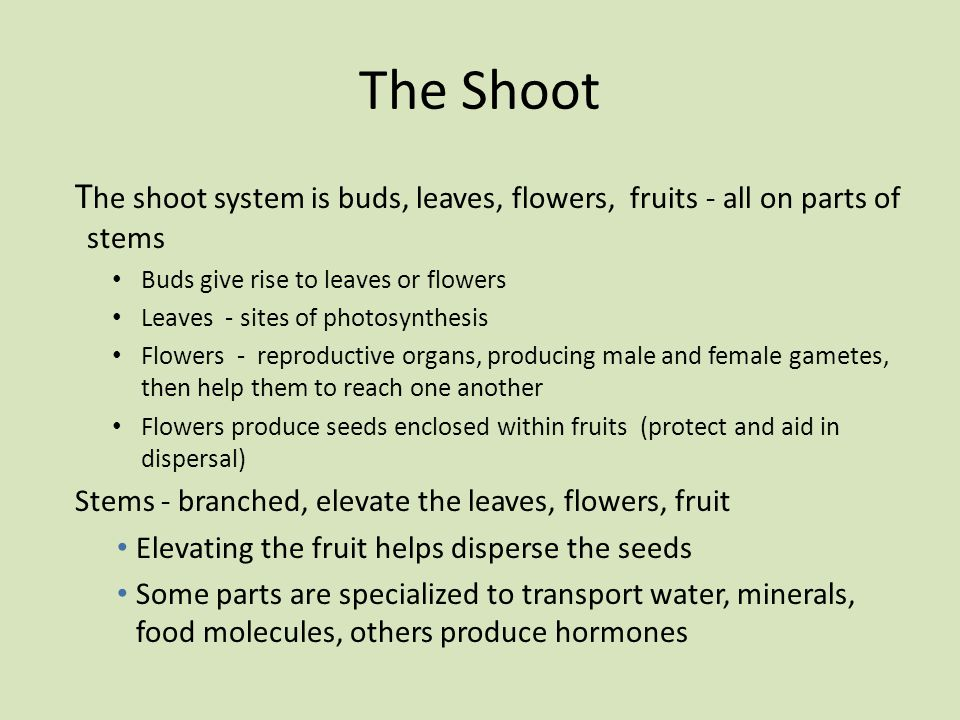 The Shoot The shoot system is buds, leaves, flowers, fruits - all on parts of stems. Buds give rise to leaves or flowers.