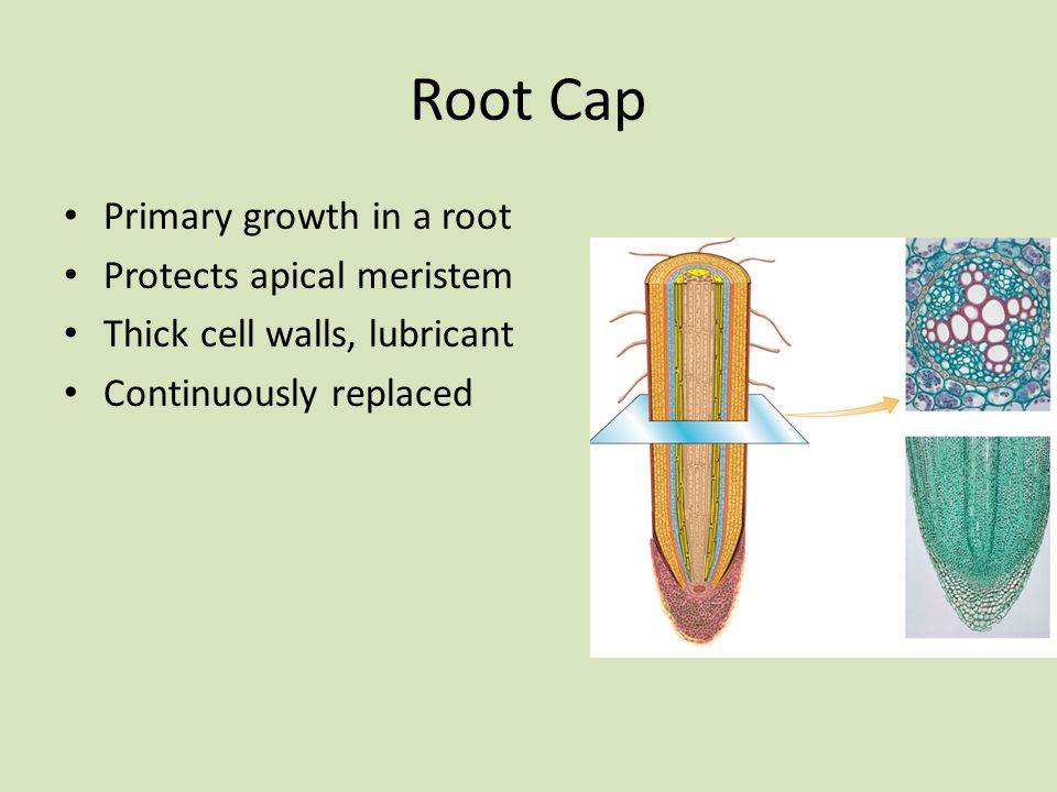 Root Cap Primary growth in a root Protects apical meristem
