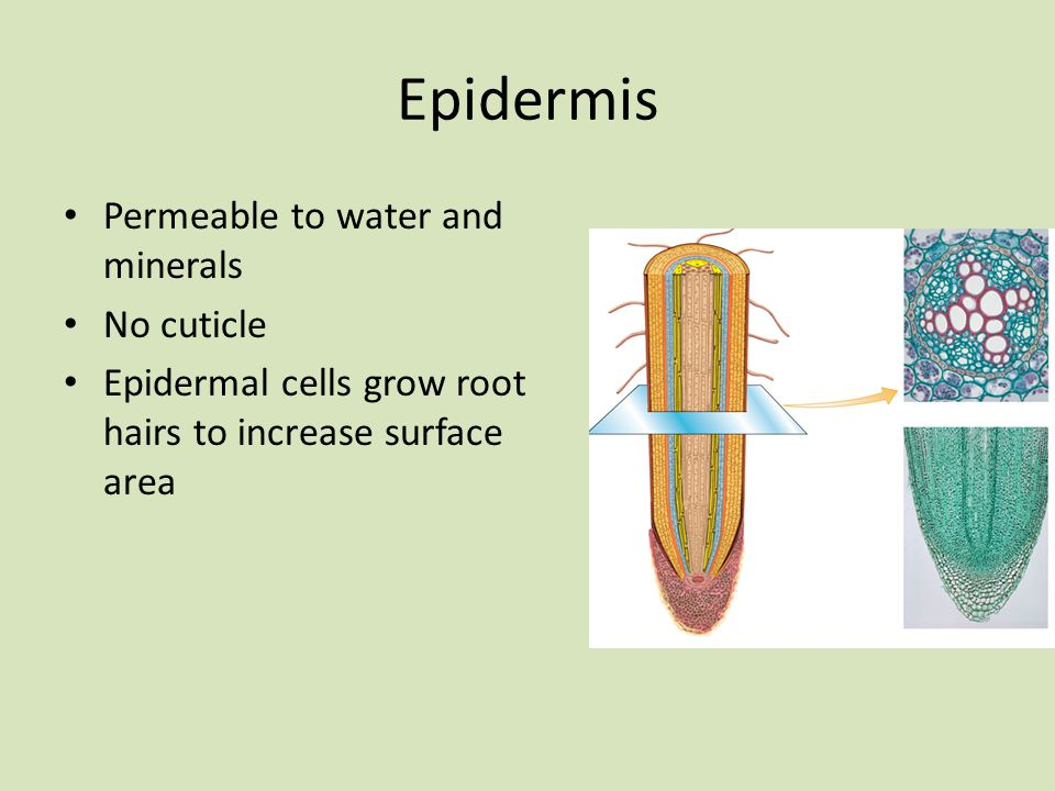 Epidermis Permeable to water and minerals No cuticle
