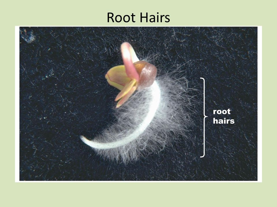 Root Hairs