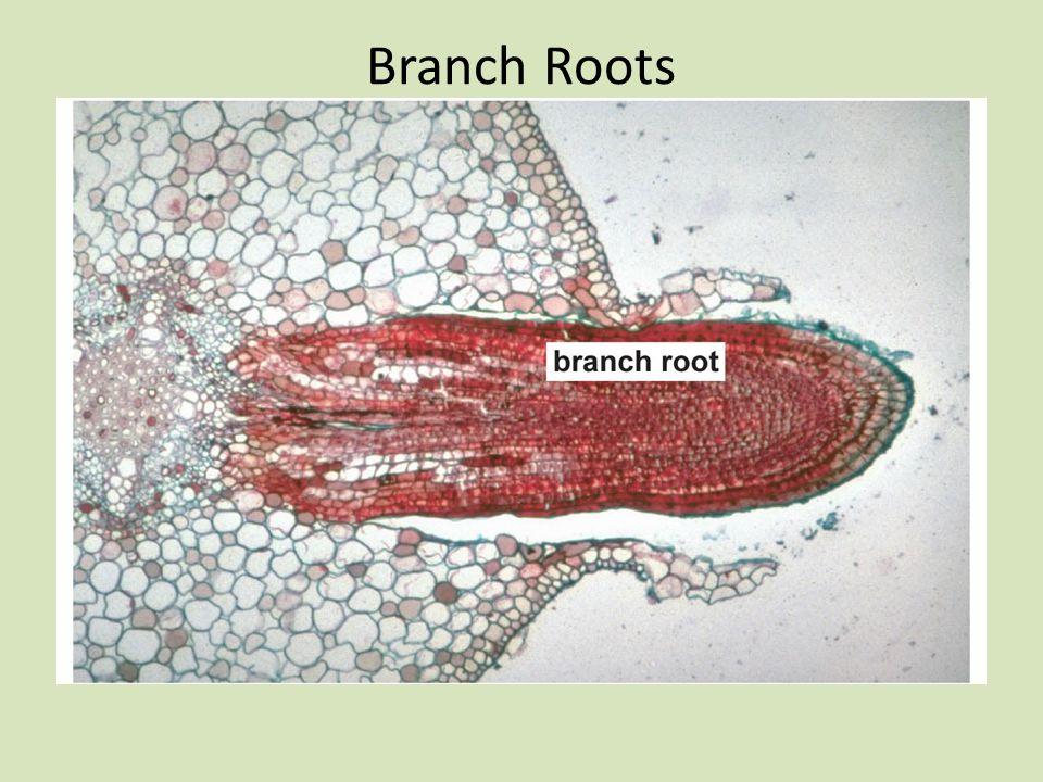 Branch Roots