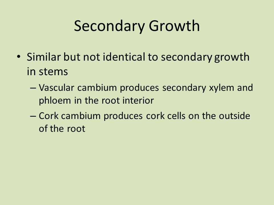 Secondary Growth Similar but not identical to secondary growth in stems. Vascular cambium produces secondary xylem and phloem in the root interior.