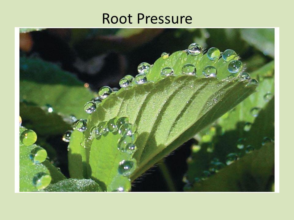 Root Pressure