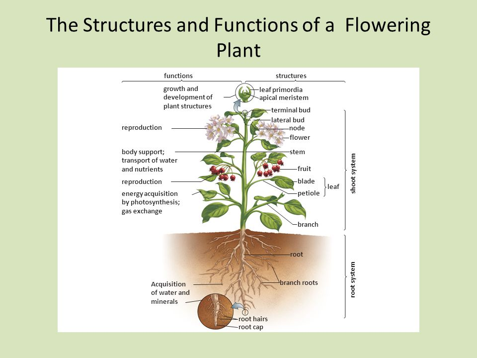 The Structures and Functions of a Flowering Plant