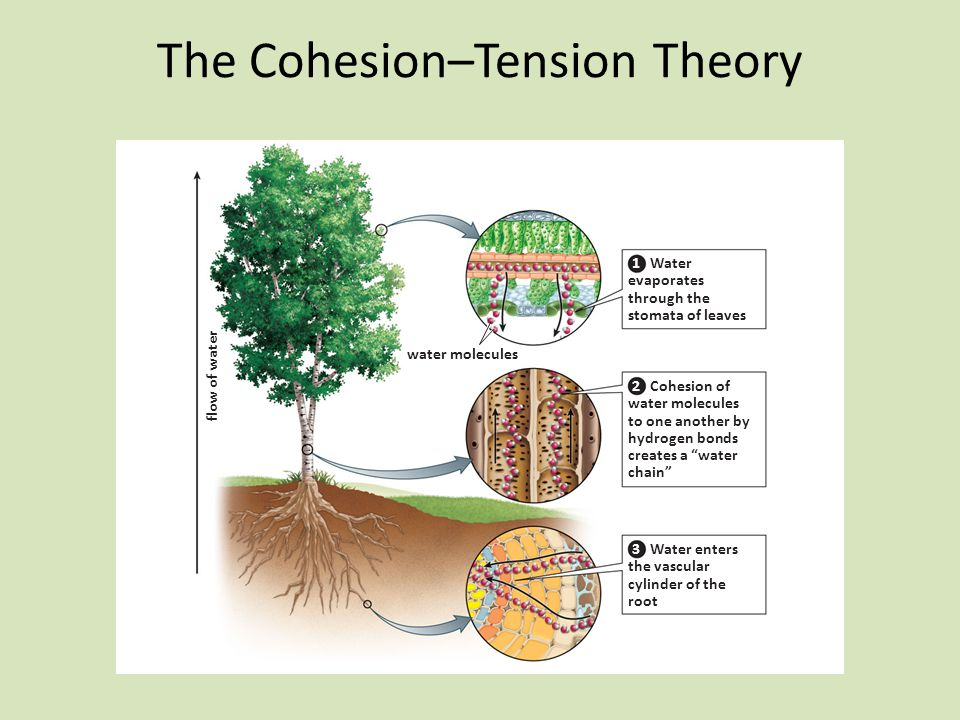 The Cohesion–Tension Theory
