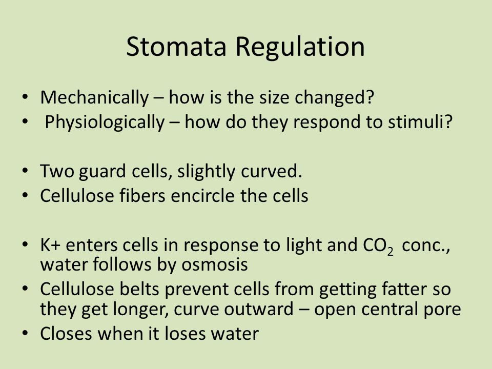 Stomata Regulation Mechanically – how is the size changed