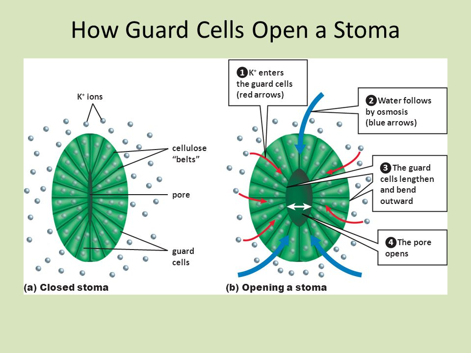 How Guard Cells Open a Stoma