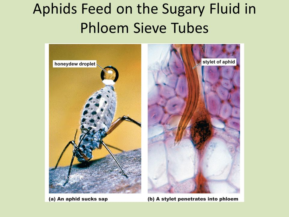 Aphids Feed on the Sugary Fluid in Phloem Sieve Tubes