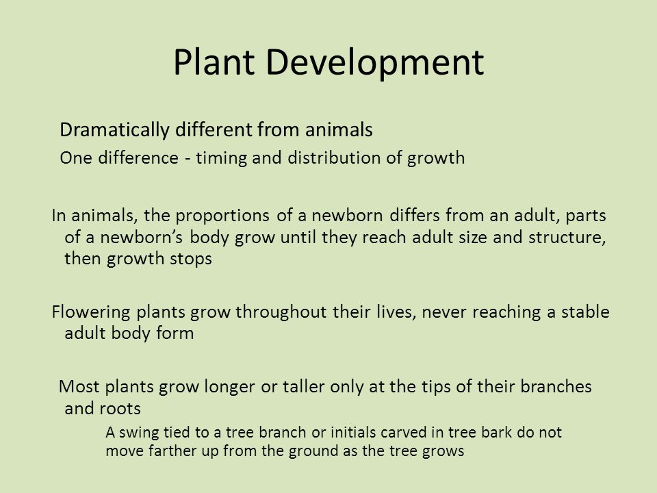 Plant Development Dramatically different from animals