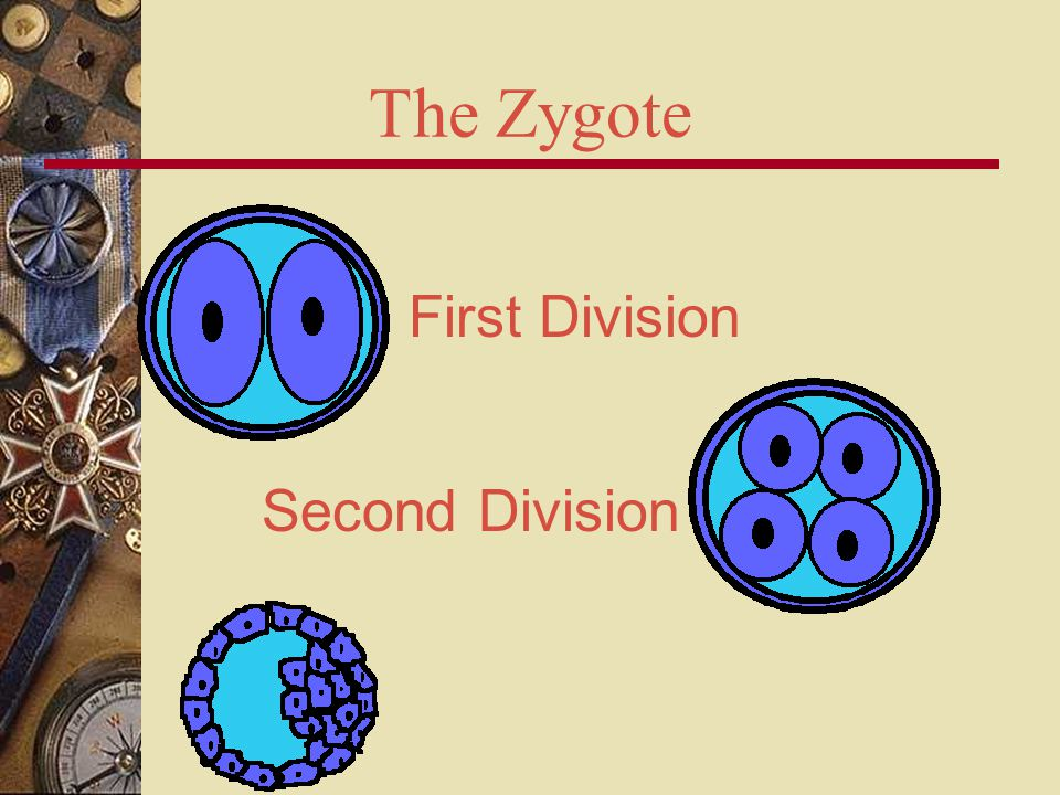 The Zygote First Division Second Division
